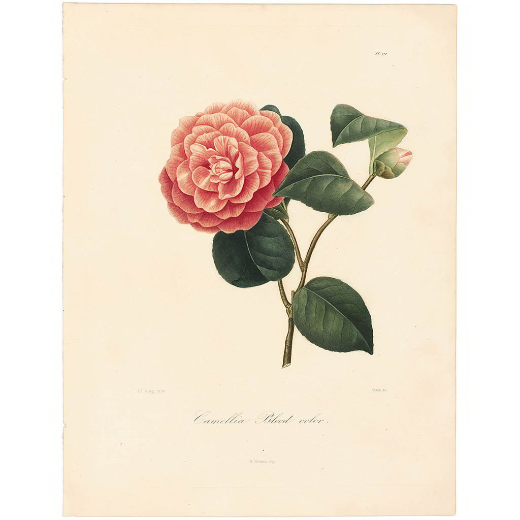 Camellia Blood Colored
