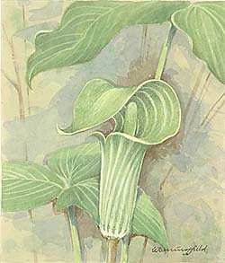 Jack in the Pulpit / Аронник