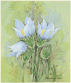 Pasqueflower / Прострел