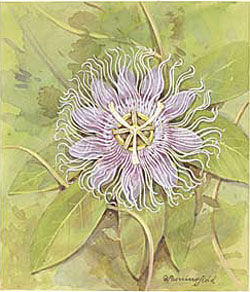 Passionflower / Страстоцвет