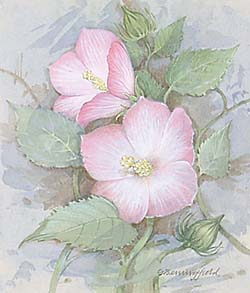 Rose Mallow / Мальва