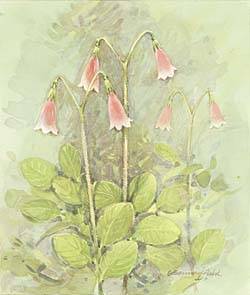 Twinflower / Линнея
